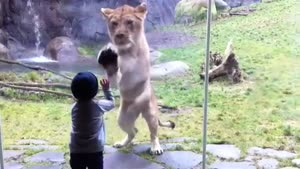Lion And Toddler Play Patsy