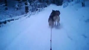Dog Sledding Gone Wrong