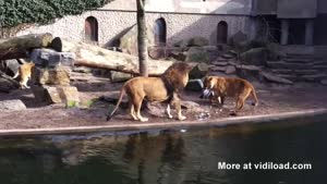 Lions Attack Heron In Zoo