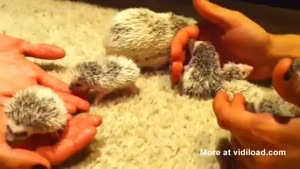 Hedgehog Babies Are Super Cute!