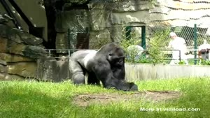 Getting Pranked By A Gorilla