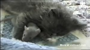 Rat Cuddles Kitten