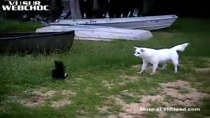Dog Tries To Play With A Skunk
