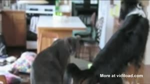 Dog Tries To Imitate Cat