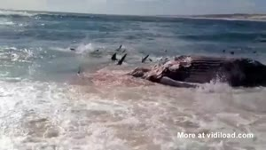 Sharks Feast On Dead Whale 10m Off Shore