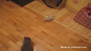Ninja Kitten Attacks Toy Dog