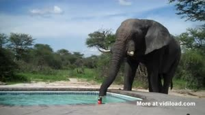 Thirsty Elephant Drinks From Pool