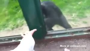 Chimpanzee Asks For Help