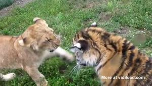 Baby Lion Vs. Baby Tiger