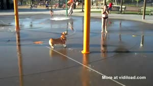 Cute Corgi Loves Water Park