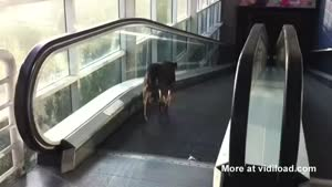 Confused Dog Takes The Wrong Escalator