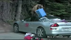 Bear Destroys Soft Top