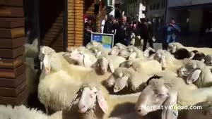 Sheep Go Shopping In Austria