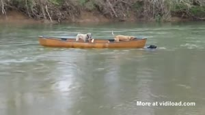 Dog Rescues Two Dogs In Boat