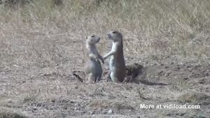 Prairie Dogs And Their Dramatic Goodbye