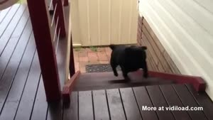 Funny Dog Walking The Stairs Like A Bunny