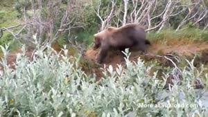 Grizzly Bear Faceplant