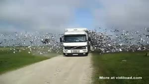 Truck Releases Pigeons