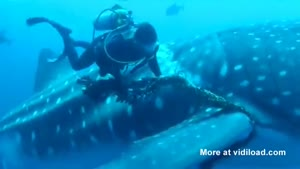 Divers Save Whale Shark From Rope