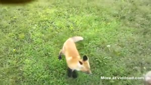 Playing Fetch With A Fox