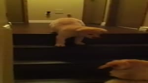 Mother Dog Teaches Her Puppy To Walk Stairs