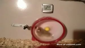 Hamster Falls Out Off His Wheel
