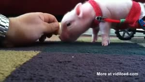 Little Piggy Only Has Two Legs
