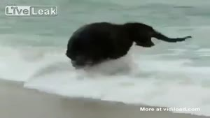 Baby Elephant Playing In The Waves