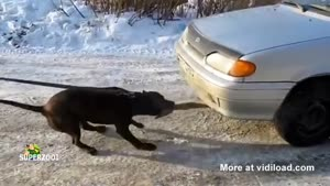 Dog Pulls Car With His Mouth