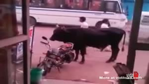 Bull Making Love To Motorcycle