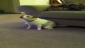 Dog Shaking Its Booty