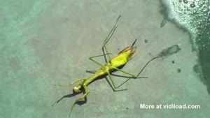 Parasite Crawling From Praying Mantis