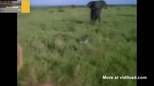 Drunk Guy Chases Wild Elephant