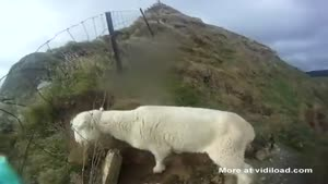 Rescueing A Sheep