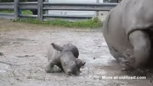 Baby Rhino Imitating His Mommy