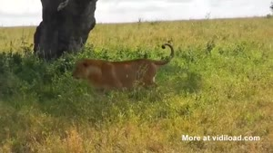 Lioness Falls From Tree