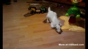 Baby Goat Falls After Sneezing