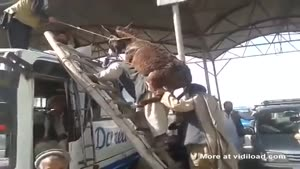 Getting A Donkey On Top Of A Bus