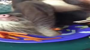Sloth Eating Carrots