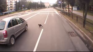 Cat Makes Bad Decisions Crossing Street