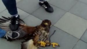Hawk Attacks Little Dog