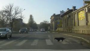 Dog Carefully Uses Cross Walk
