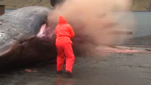 Sperm Whale Explodes
