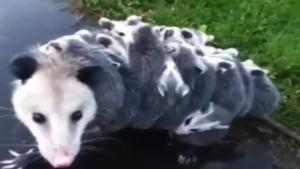 Possum Carrying 15 Babies On Her Back
