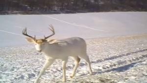 Deer Surprised By Antlers Shedding