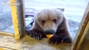 Bear Begging For Treats In Russia