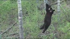 Bear Makes Stupid Mistake