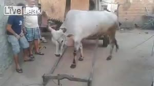 Smart Cow Is Ready For Work