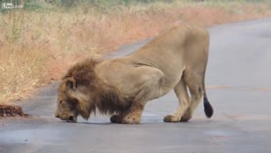 Lion Goes Crazy For Female Scent