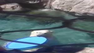 Polar Bear Plays Catch